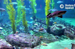 Haie im Monterey Bay Aquarium. Monterey Webcams online